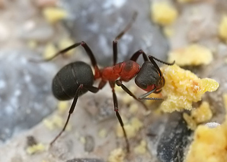 Ants identification quiz (hard)